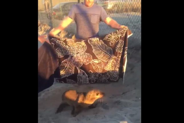 Beachgoers in Carlsbad, Calif., use towels to guide a lost sea lion back to the water. Screenshot: @Matt_McDev24/Twitter