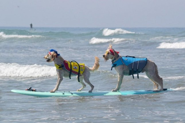 Dogs take to the waves at the Helen Woodward Animal Center's 13th annual Surf Dog Surf-a-Thon in Del Mar, Calif. Photo courtesy of the Helen Woodward Animal Center