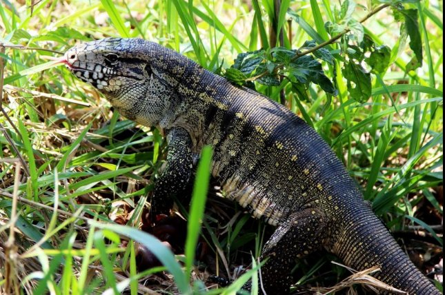 The Georgia Department of Natural Resources is asking residents to be on the lookout for South American tegu lizards spotted in two counties. Photo by joelfotos/Pixabay.com