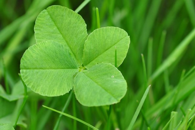 A Virginia girl set a new Guinness World Record when she found 166 four-leaf clovers in one hour. Photo by bella67/Pixabay.com