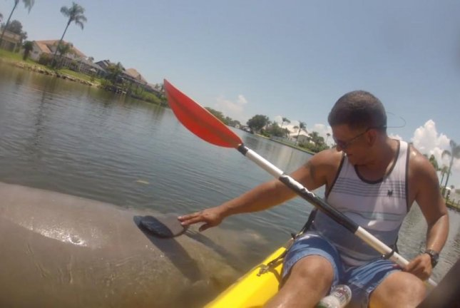 Manatee approaches Florida kayakers for a belly rub