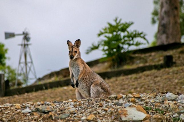 A wallaby, not the same wallaby pictured here, escaped a British zoo and was returned to the facility after being struck by a van. Photo by sandid/Pixabay