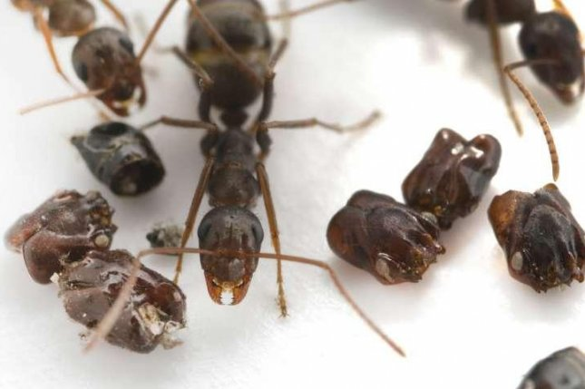 Florida's skull-collecting ant, Formica archboldi, pictured with an array of trap-jaw ant body parts. Photo by Adrian Smith