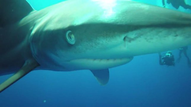 An oceanic white tip shark shoves its nose into a Red Sea diving instructor's camera. Newsflare video screenshot