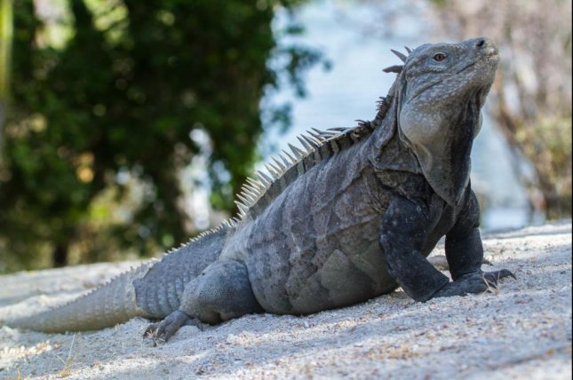 The Ricord's iguana, endemic to the Dominican Republic's Cabritos Island, is critically endangered as a result of habitat loss and predation by feral cats and dogs. Photo by Island Conservation