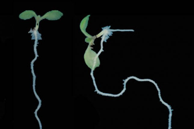 Plants with efficient gravitropism are able to efficiently direct root growth downward. When scientists disturbed gravitropism by engineering plants with PIN protein mutations, the plans exhibited deformed root growth. Photo by IST Austria/Yuzhou Zhang/Friml Group