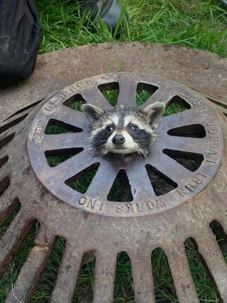 The Harrison Township Fire Department in Michigan came to the rescue of a raccoon found with its head stuck through the hole in the center of a sewer cover. Photo courtesy of the Harrison Township Fire Department