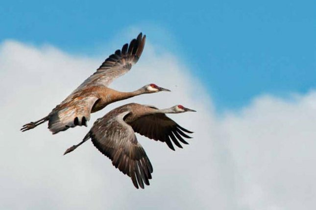 Cranes are one of many birds that cross the Gulf each spring. Photo by the National Park Service