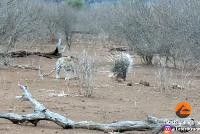 Attention leopards: This is a bad idea. Screenshot: Kruger Sightings/YouTube