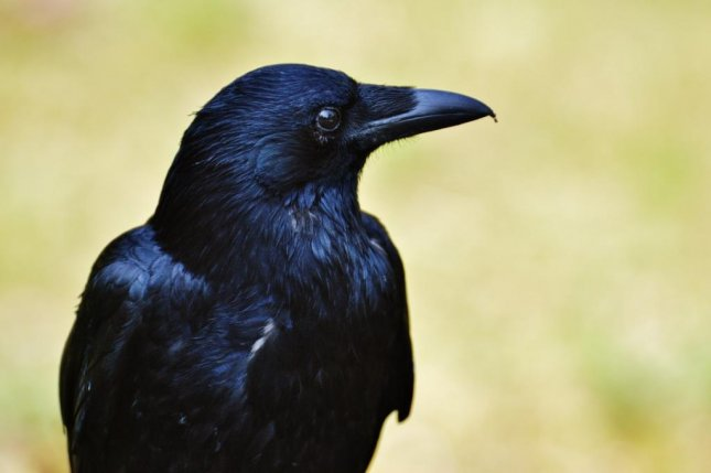 The cognitive abilities of ravens are on par with apes, according to new research. Photo by Pxhere/CC