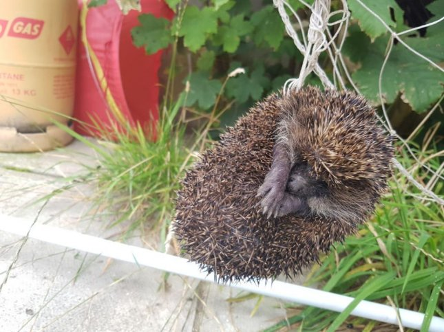 An RSPCA officer helped rescue a hedgehog that was trapped in a net in a resident's garden on Wednesday.  Photo by RSPCA