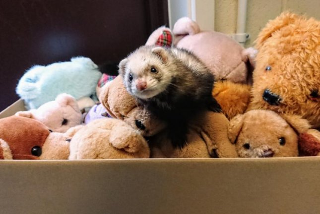 Animal rescuers in Britain said a woman throwing out some old stuffed animals in a garage discovered a ferret snuggled up with the teddy bears. Photo courtesy of the RSPCA