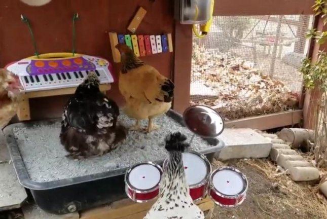 Watch: Chickens jam out on keyboard, xylophone and drums - UPI com