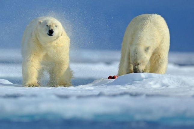 Two polar bear appear in Arctic Russia. Five Russian meteorologists had been trapped on an island in the Arctic Ocean for two weeks by a dozen adult bears and cubs. File photo by Ondrej Prosicky/Shutterstock
