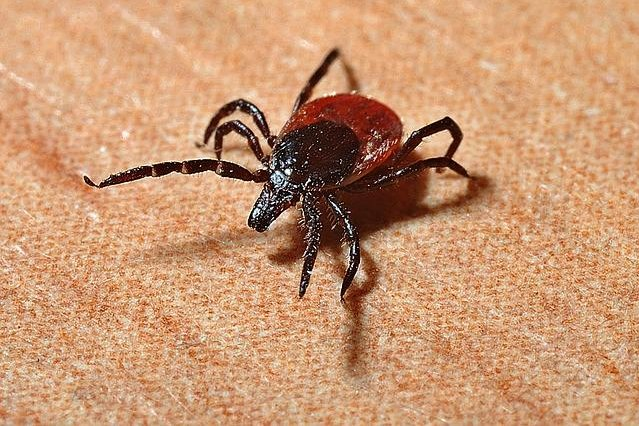 Researchers have developed a new approach to predicting where ticks that carry Lyme disease will arise. Photo by Jerzy Górecki/Pixabay