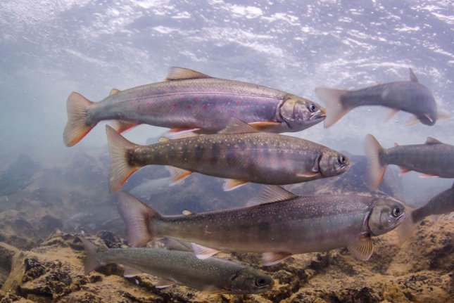 Dolly Varden trout store up fat for an early retirement