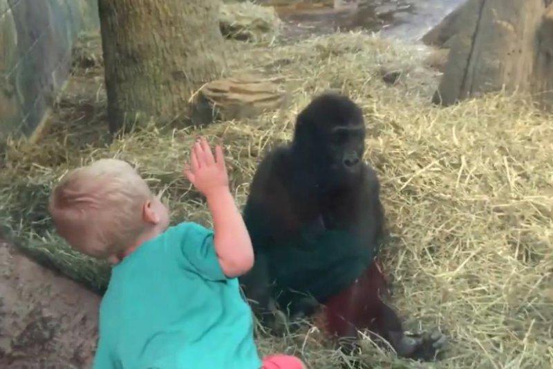 Sherry Chute's 2-year-old son, Isaiah, plays with young gorilla Kamoli at the Columbus Zoo. JukinMedia video screenshot