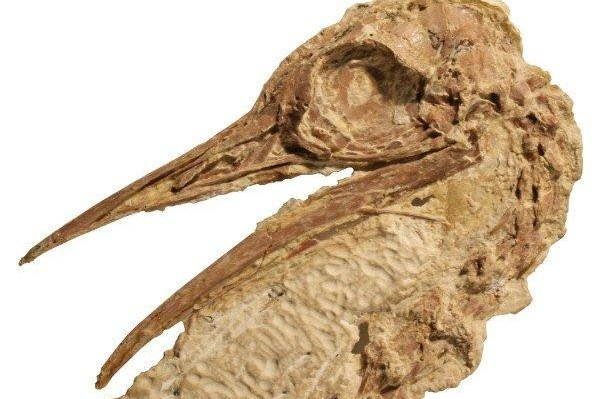 Researchers say the ancient ostrich relative found in North America looked more like a chicken. Photo by Sterling Nesbitt/Virginia Tech