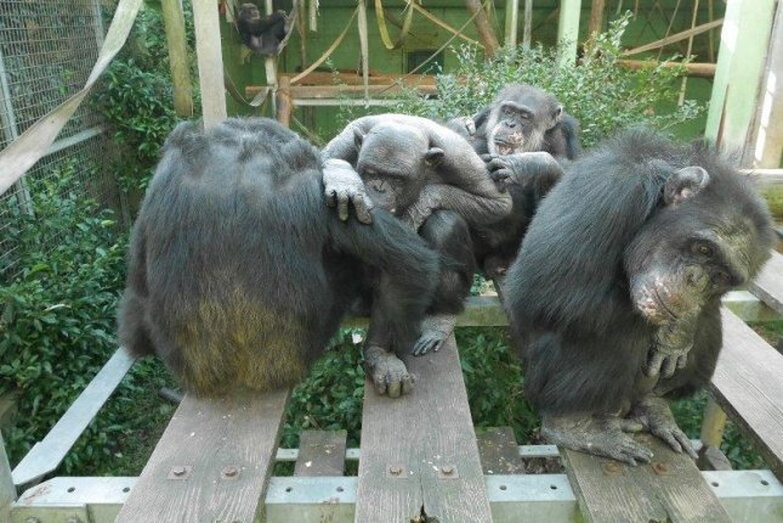 Exposure to unfamiliar chimps sounds increased cohesion and grooming behavior among groups of chimpanzees. Photo byEtsuko Nogami/Kyoto University Kumamoto Sanctuary