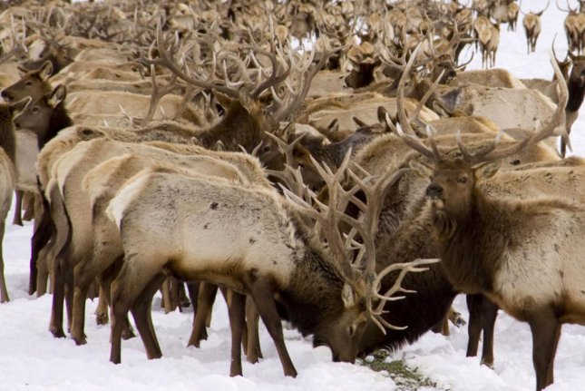 Thousands of elk that winter at Wyoming's National Elk Refuge feeding grounds can create a disease breeding ground for chronic wasting disease, wildlife scientists fear. Photo by Mark Gocke/Wyoming Department of Game and Fish
