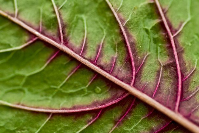 Scientists used the vascular network in spinach leaves to grow cultured cow meat in the lab. Photo by Stewart Butterfield/Flickr/CC