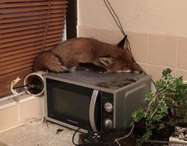 A London family preparing for breakfast discovered a fox had wandered in through their cat door and settled down for a nap on their microwave. Photo courtesy of the RSPCA