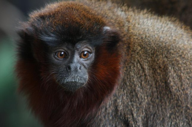 New research shows titi monkeys get jealous when their parters are with a stranger. Photo by Nicki/Flickr