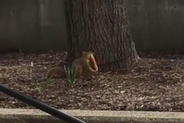 A squirrel carries a slice of pizza. Screenshot: Newsflare