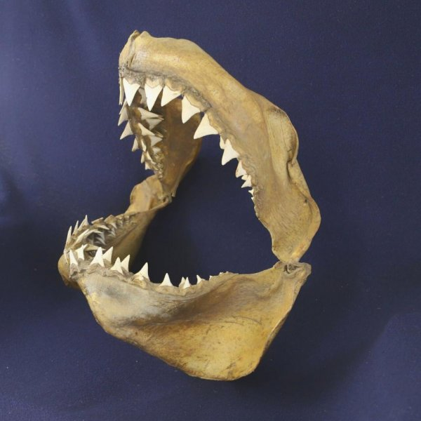 Researchers say great whites have been in the Mediterranean for far longer than previously thought. Pictured, historical great white jaws. Photo by University of Bologna