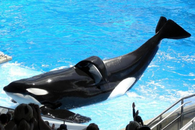 Tilikum, a killer whale who has been involved the deaths of three human trainers. (Flickr/Milan Boers)