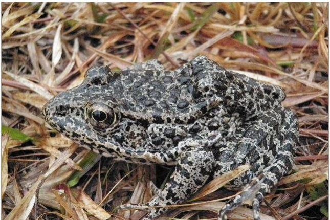 Supreme Court hops into case of endangered dusky gopher frog