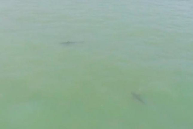 Barry Curtis captured drone footage of two 6-foot great white sharks swimming near an unsuspecting group of beachgoers towing inflatable tubes with a boat in California. 