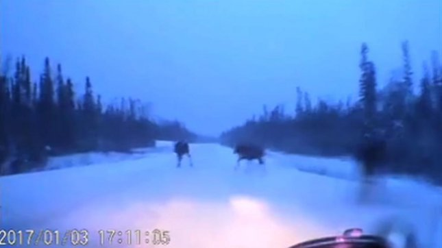 A driver in northern Ontario appears headed for disaster with three moose in the road. Screenshot: The Weather Network/YouTube