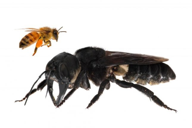 Female specimens of Wallace's giant bee are much larger than males. Photo by Clay Bolt/Global Wildlife Conservation