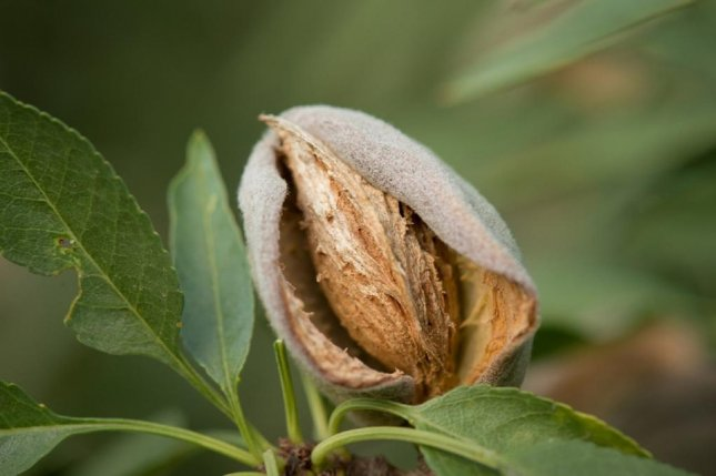India tariffs leave California almond, walnut growers