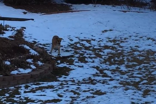 A Colorado dog named Lacey tries her paw at downhill sledding. Screenshot: Storyful
