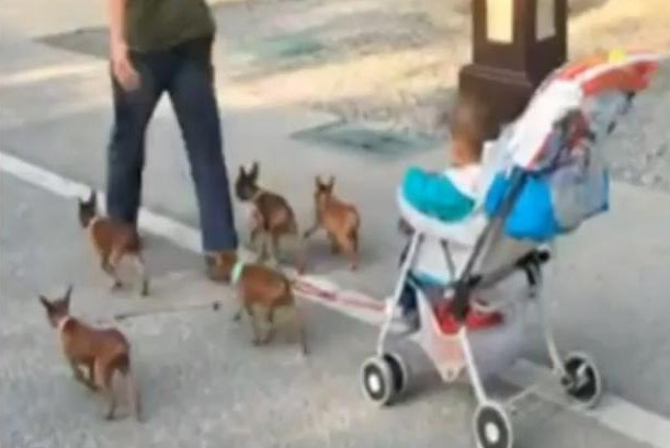 Dad makes baby's stroller hands-free with help from five small dogs