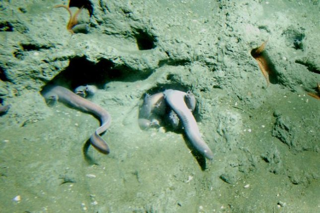 Hagfish, a group of jawless fish, haven't evolved much in 300 million years. Photo by NOAA