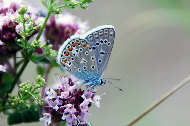 The hominy blue, Polyommatus icarus, is one of 189 species of butterflies found in Germany. Photo by Jan Christian Habel / TUM