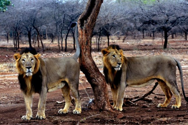 A pair of male lions in India's Gir Forest mark their territory. Photo by Shailesh Raval/Wikimedia Commons