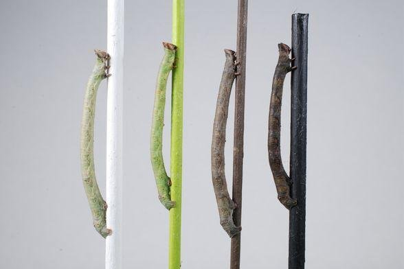 Caterpillars of the peppered moth can sense color through their skin, matching a background to prevent themselves from being eaten. Photo by Arjen van't Hof/University of Liverpool