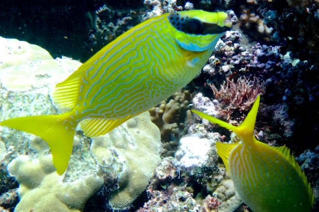 A pair of rabbitfish feed, one eating while the other watches for danger. Photo by James Cook University/Jordan Casey