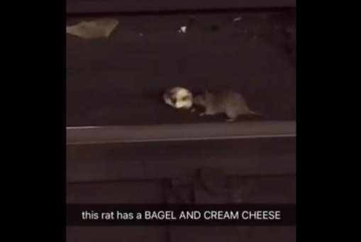A rat spotted in a Brooklyn subway station carrying a bagel with cream cheese topping. Screenshot: Storyful