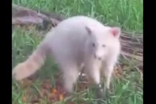 A New Port Richey, Fla., woman captured video of a rare albino raccoon in her back yard. Screenshot: Fox 32 Chicago/Facebook