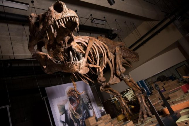 The 66-million-year-old T. rex named Scotty is the largest T. rex ever found. Photo by Amanda Kelley
