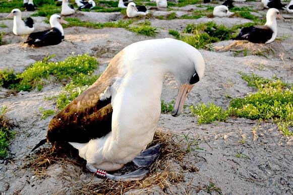 Wisdom seen incubating her egg during 2014's nesting season. Photo by USFWS