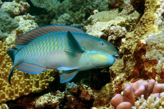 As coral reef health declines, parrotfish numbers rise. Photo by Kendall Clements