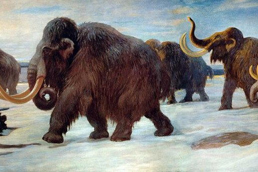 New research suggests the last isolated populations of woolly mammoths likely suffered the consequences of harmful genetic mutations. Photo by Charles R. Knight/American Natural History Museum