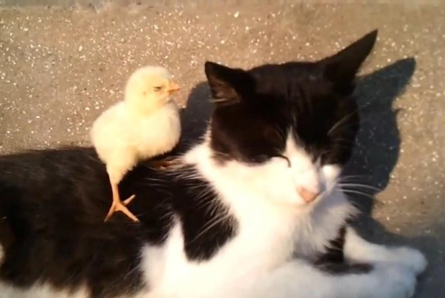 A chick snuggles in on a cat's back for a buddy nap. Screenshot: Newsflare