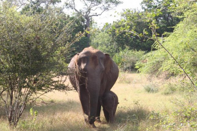 Slow-breeding animals like Asian elephants benefit most from protection that improve reproductive rates, such as habitat protection. Photo by Udawalawe Elephant Research Project